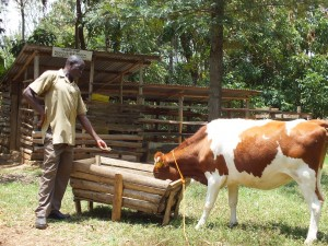 Ignatius Sifuna Rabutola feeds his dairy cow with silage from his farm