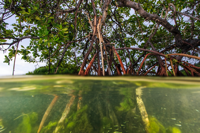 Coastal mangrove forests serve as a natural barrier against storms and sea level rise, store carbon, and are a breeding ground for sea life. The Nature Conservancy is working with government and non-government groups to create marine protected areas and develop solutions to the problems created by climate change in the Caribbean.  Photo © Marjo Aho